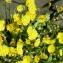 Crepis capillaris (L.) Wallr. [nn19630] par hubert.crinoides69@... le 25/05/2017 - Villeurbanne