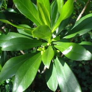 Photographie n°1576542 du taxon Daphne laureola L. [1753]