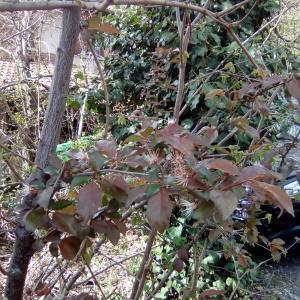 Photographie n°1591209 du taxon Prunus L.