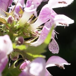 Photographie n°1591589 du taxon Lamium maculatum (L.) L. [1763]