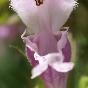 Photographie n°1591611 du taxon Lamium maculatum (L.) L. [1763]