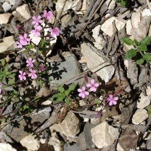 Photographie n°1591658 du taxon Saponaria ocymoides L.