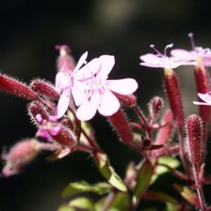 Photographie n°1591711 du taxon Saponaria ocymoides L.