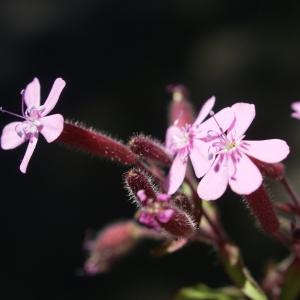 Photographie n°1591714 du taxon Saponaria ocymoides L.