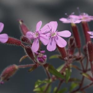 Photographie n°1591719 du taxon Saponaria ocymoides L.