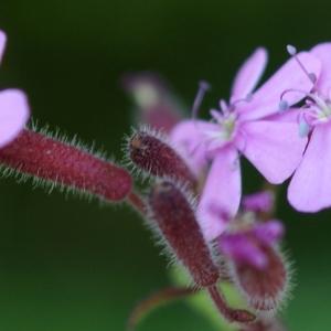 Photographie n°1591728 du taxon Saponaria ocymoides L.