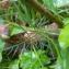 Frédérique PLAQUIN - Conopodium majus (Gouan) Loret