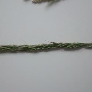 Photographie n°1600234 du taxon Leymus arenarius (L.) Hochst. [1848]
