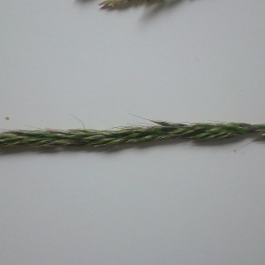 Photographie n°1600235 du taxon Leymus arenarius (L.) Hochst. [1848]