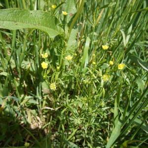 Photographie n°1607759 du taxon Ranunculus arvensis L. [1753]