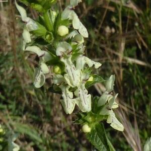 Photographie n°1616689 du taxon Nepeta cataria L.