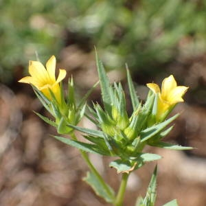 Photographie n°1619543 du taxon Linum strictum L.