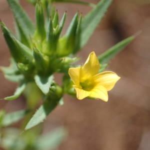 Photographie n°1619545 du taxon Linum strictum L.