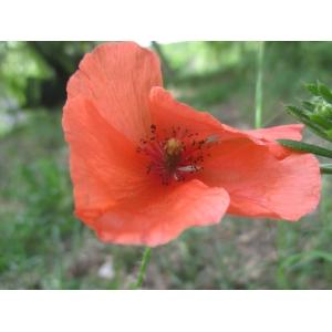 Papaver rhoeas f. strigosum (Boenn.) Rothm.