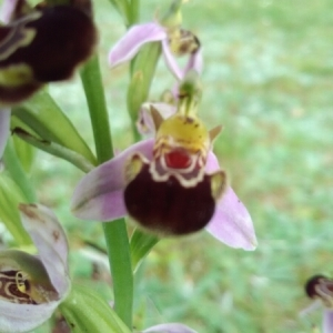 Photographie n°1634850 du taxon Ophrys apifera Huds. [1762]