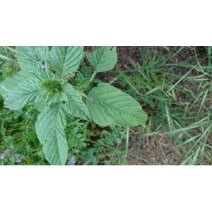 Amaranthus viridis L. (Amarante verte)
