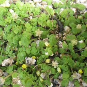 Nananthea perpusilla (Loisel.) DC. (Nananthée de Corse)