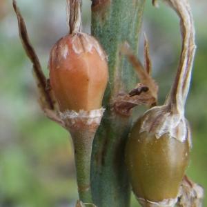 Photographie n°1638789 du taxon Asphodelus ramosus L. [1753]