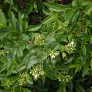 Photographie n°1643766 du taxon Ligustrum vulgare L. [1753]
