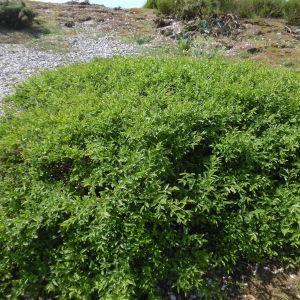 Photographie n°1643772 du taxon Ligustrum vulgare L. [1753]