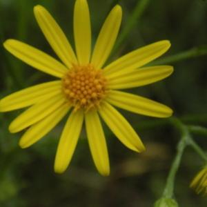 Photographie n°1644677 du taxon Jacobaea vulgaris Gaertn.