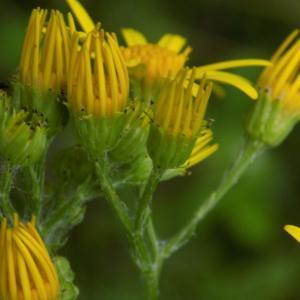 Photographie n°1644757 du taxon Jacobaea vulgaris Gaertn.