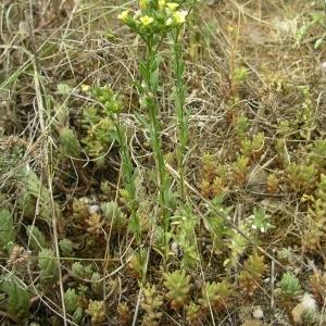 Photographie n°1645333 du taxon Linum strictum L.