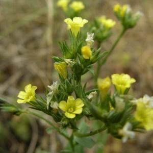 Photographie n°1645336 du taxon Linum strictum L.
