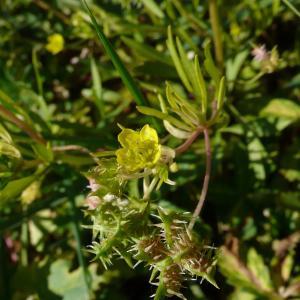 Photographie n°1646254 du taxon Ranunculus arvensis L.
