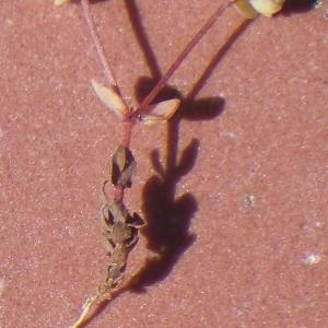 Photographie n°1648221 du taxon Radiola linoides Roth [1788]