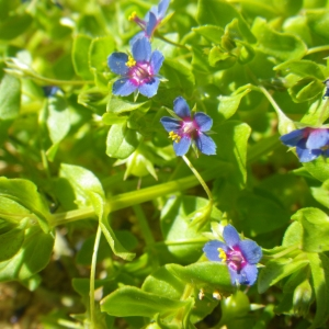 Anagallis arvensis subsp. parviflora (Hoffmanns. & Link) Arcang. (Mouron à petites fleurs)