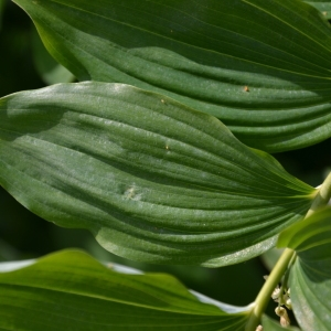 Photographie n°1655086 du taxon Polygonatum multiflorum (L.) All. [1785]