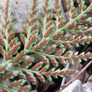 Photographie n°1662630 du taxon Asplenium adiantum-nigrum L.