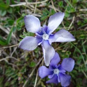 Photographie n°1666887 du taxon Gentiana verna subsp. verna