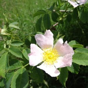 Photographie n°1675548 du taxon Rosa canina L. [1753]