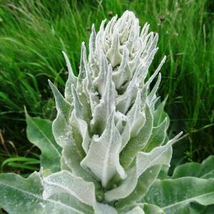 Photographie n°1675761 du taxon Verbascum pulverulentum Vill.