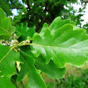 Photographie n°1675909 du taxon Quercus robur L. [1753]