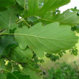 Photographie n°1675970 du taxon Quercus robur L. [1753]