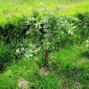 Photographie n°1676174 du taxon Quercus pubescens Willd. [1805]