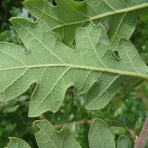Photographie n°1676234 du taxon Quercus pubescens Willd. [1805]