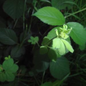 - Lotus L. [1753]