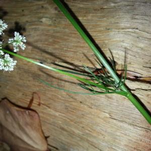 Photographie n°1681244 du taxon Conopodium majus (Gouan) Loret