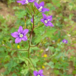 Photographie n°1687852 du taxon Legousia speculum-veneris (L.) Chaix