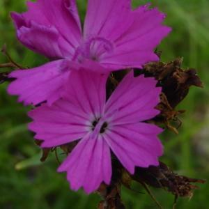 Photographie n°1690080 du taxon Dianthus L.