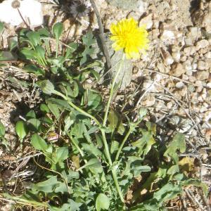 Crepis bellidifolia Loisel. (Crépis à feuilles de pâquerette)