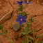 Villasante CARLOS - Lysimachia arvensis (L.) U.Manns & Anderb. [2009]