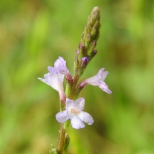 - Verbena officinalis L.