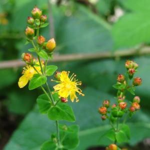 - Hypericum pulchrum L. [1753]