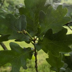 Photographie n°1746621 du taxon Quercus robur L. [1753]