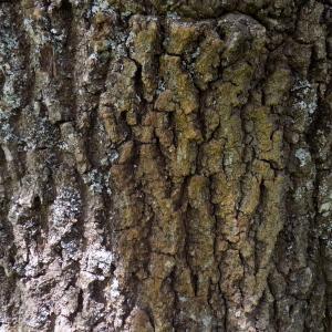 Photographie n°1746627 du taxon Quercus robur L. [1753]